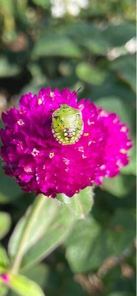 この虫は何という種類の虫でしょうか?東京都の葛飾区の公園でみつけました。カメムシの一種だと思いますが…