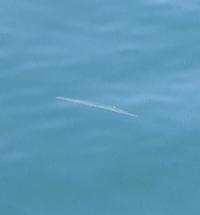 この魚はなんでしょうか? 画質が悪くてすみません。堤防にいました。