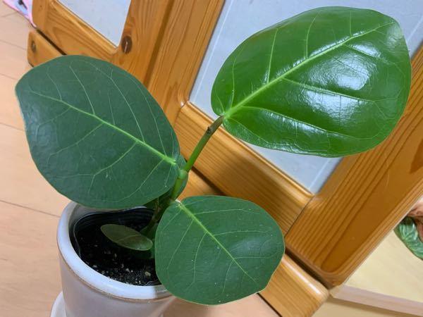 この観葉植物の名前を教えてください。