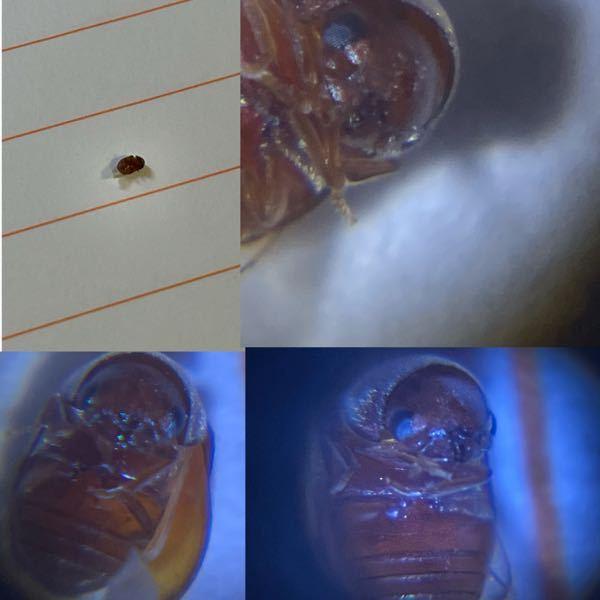 最近家中にこの虫がいるのですが、なんという虫ですか?また、害はありますか? 触覚が短くゴキブリではないように思います。