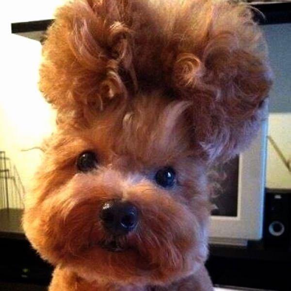 昔ネットサーフィン中どこかで見つけて一目惚れしたワンちゃんなのですが、犬種と髪型分かる方、教えて下さい。