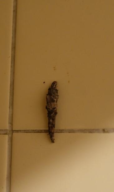 今晩、台所で薬草茶的な汁物を煮出していましたら、写真のような幼虫(?)がタイルの壁をモゾモゾと這っていました。すぐに捕まえて殺したのですが、これって何の虫の幼虫? (もしくは成虫)なのかお分かりの方はいらっちゃいますか? 見た目は枯れ葉や樹皮を丸めた感じがするパリッとした茶褐色の同体で、動きは比較的鈍い方でした。