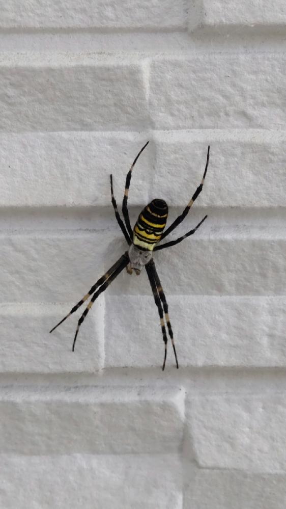 家の壁にくっついていました。 初めて見る蜘蛛です。足の先から先までで4.5センチ程あります。 蜘蛛が大嫌いなんですが、すごくキレイで感動し、接写して調べてみたらコガネグモかな?と思いましたが、住んでいるところが北海道の道東(釧路市)です。 本州〜沖縄に生息となっているので別の種類なんでしょうか。