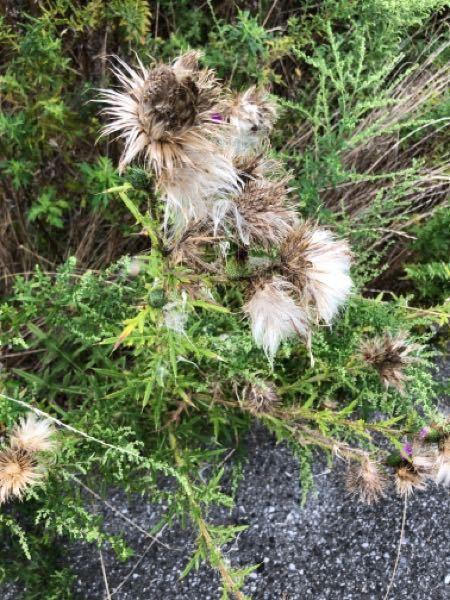この雑草の名前が知りたいです。ケセランパサランのような、タンポポの綿毛の大きいようなものが入っていました。