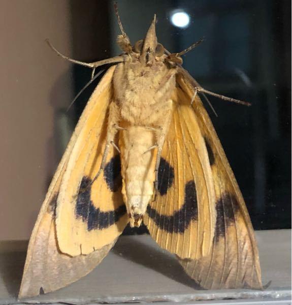 この蛾はなんという名前ですか?