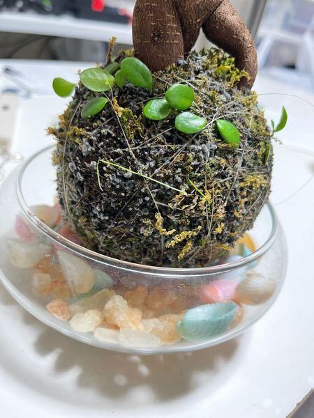 ガジュマルが植えてある苔玉を購入して カビみたいなのが生えてしまいました これはカビなんでしょうか…? 取り方を、調べたらお酢を薄めコケに触れないように取り除くと書いてありましたが ガッツ...