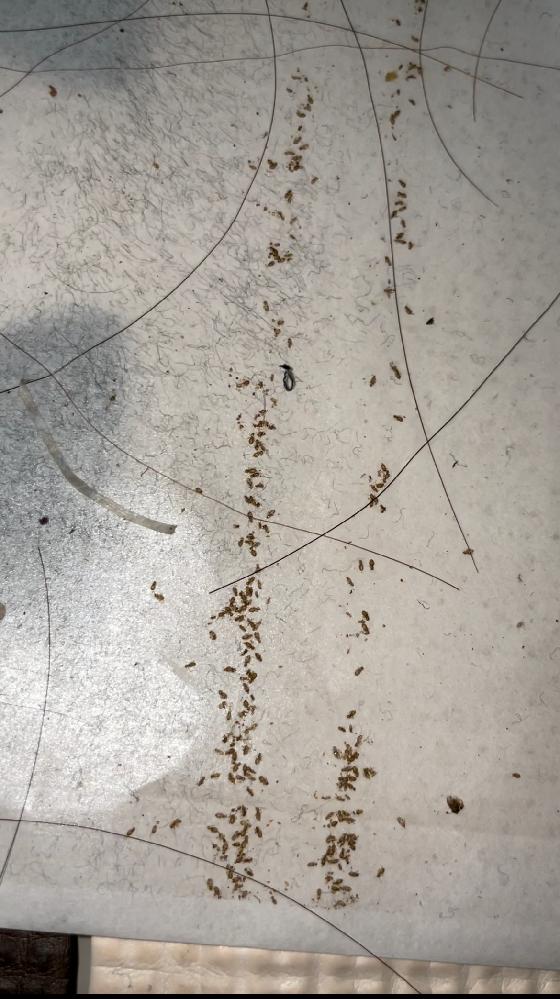 閲覧注意!! 2ヶ月くらい帰省で家を空けていました。その際コロコロを床に置きっぱなしで行って、帰ってきた時に動かすと茶色いラインが付いていたので床が剥がれちゃったのかなと思ってなにも気にとめなかったのですが、よくよく見ると小さな虫の塊に見えてビックリして叫んでしまいました。とくに周りに虫とかいなかったのですがこれはなんですか、? 見えにくくてすみません、、