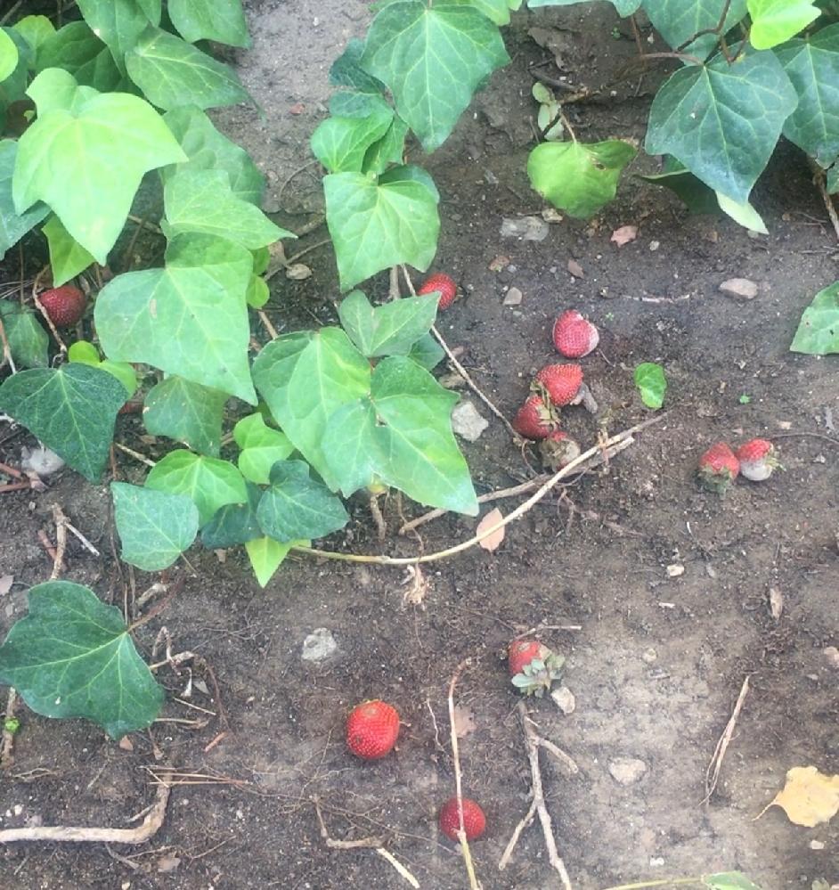 アパートなのですが、裏庭に小さな庭があるのですが 土壌が悪いせいか 一番端のコーナーの部分はどんなに水を上げてもカラカラです ここ一ヶ月突然 果物や野菜が捨てられてるのをみるようになり 今日は大量のいちごが捨てられており、なかには カビがはえているのもありました お隣さんは小さなお子さんがいて時々捨てているので それとなく お隣な奥さんに写真と共に聞いたところ 彼女自身が置いていると知りました 理由は我が家の庭な枯れた土壌をバクテリアによって戻せるならとのことでしたが いちごは埋められているのではなく 投げ入れられてるという感じなのですが、画像のような感じでもそのような効果があるのでしょうか? お隣さん家族とは四年ほど前に同じ時に引っ越してきたこともあり こちらは高齢かぞくですが、お子さんたちとも仲がよく 、お互いやりとりが頻繁にあるものの プライベートには干渉せずほどよい距離感をもっているので、いやがらせとは思えず お尋ねしてみました よろしくおねがいします