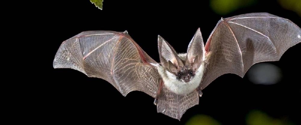 コウモリの耳について教えて下さい。 コウモリの写真を検索すると、耳が左右に大小2つずつあるように見えるコウモリがいます。 たぶん、大きい方が耳で、内側の小さいのは耳ではないと思うのですが、何なのでしょうか?