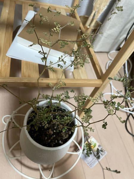 ソフォラリトルベイビーの葉っぱが急に枯れてしまいました。 パラパラ葉が落ちるようになり色も変わってしまいました。 枝はまだ緑色なので枯れてないようなのですが原因は何でしょうか? このままどうすれば生き返すことが出来ますか?