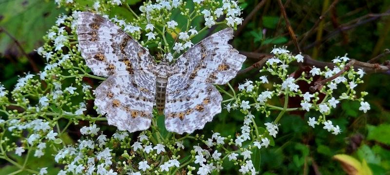 この羽の傷んだ蛾は何という名前なのでしょうか?