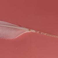 1歳3ヶ月のセキセイインコの羽軸が、 このようになってました。  PBFDでしょうか。。。