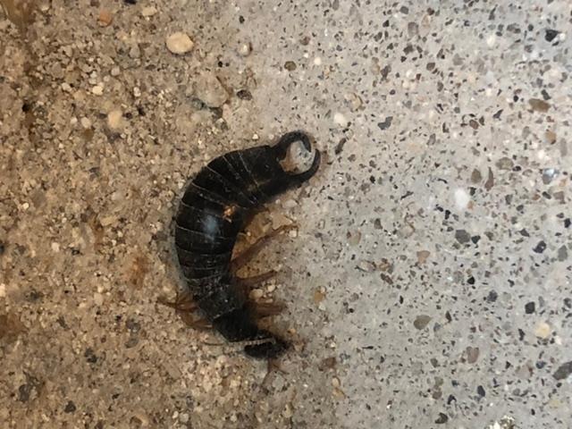 この虫はムカデですか?ヤスデの親分?なんの虫でしょうか