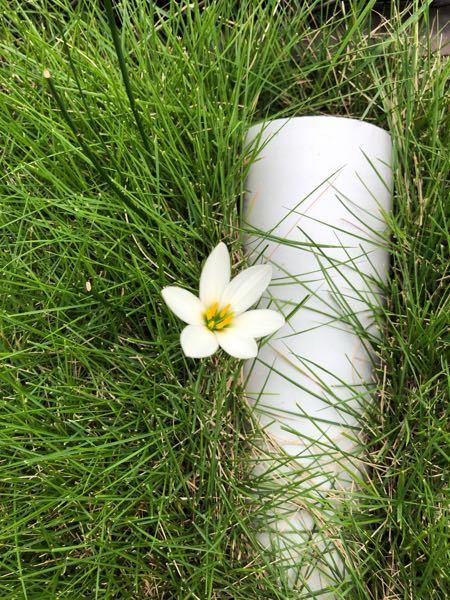 この花の名前を教えてください。 庭に突然現れ、咲きました。 可愛いので名前を知りたいです。