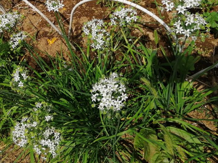 最近、この花をよく見るのですが、名前を知りません。 ご存知の方がいらっしゃいましたらお教え下さい!