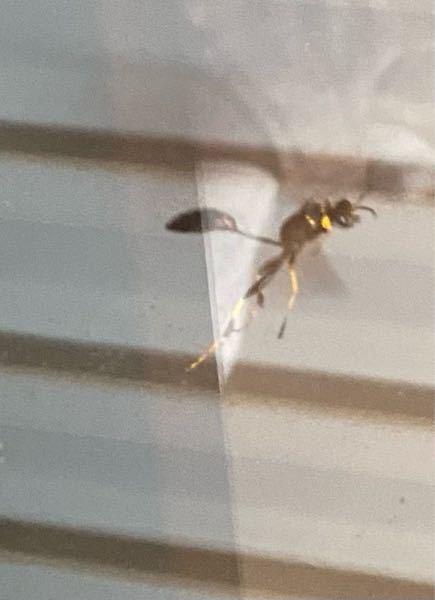 この蜂わかる方いますか? 体は細いひょうたんみたいな形で黒色、足は黄色で異様に長いです
