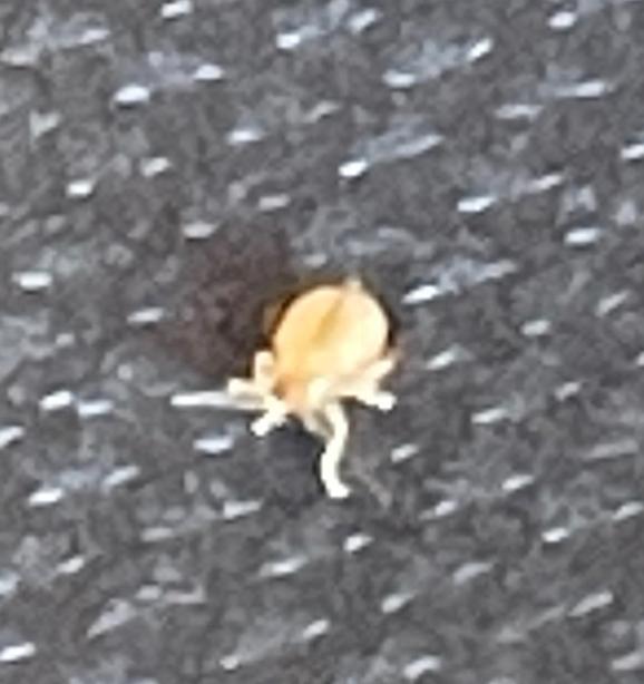 9月の頭に北海道の湖畔でキャンプした際にたくさんいた虫なのですがなんという虫でしょうか?マダニ? 2,3ミリぐらいで肉眼でも見えるサイズで、芝生の地面にシートを置いてしばらくするとシートの上で7,8匹ぐらい動いてました。