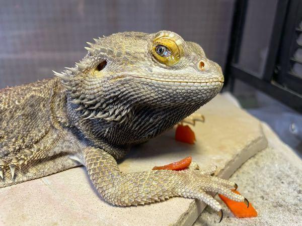 フトアゴヒゲトカゲについて質問です。 買っているフトアゴヒゲトカゲがあまり餌を食べてくれなく、食べるのがとても下手くそです。個体は2年前の8月に購入した2歳のオスです。 毎日カットした人参と小松菜と人口フードにカルシウムパウダーをかけてあげてるのですが2、3日に何口か食べるくらいで餌に全く手をつけないことが多いです。虫の方が食い付きがいいのですがそれでもあんまり食べなくて、虫も野菜もなのですが食べるのがものすごく下手くそで何回か外してしまうともう目を閉じて諦めモードに入ってしまいます。 どういう訳か分からないのですがお皿に入れるより手からあげる方が食べてくれることが多いです(それでも多くて野菜5切れくらいですが)ですので最近は主に手からあげてます。 虫だけあげても栄養が偏るので、グラブパイを買ってあげてみましたが全然興味を示さず、逆に避けて野菜だけ食べてるようにも見えます。頑張って多めに食べた日は翌日くらいに糞をしてます。感覚的に1週間に3回ほど。 温浴させたり日光浴させたりと試してるのですが何も変わりません。体型も痩せてます。 もうひとつ変だなと気づいたのがたまに頑張って多めに野菜を食べるとの時は決まって食べ終わる頃に顔から垂れるくらい涙目になってます(写真) 去年獣医に連れて行きましたがよく原因がわからず、とりあえずそこで栄養材の注射を受け、処方された薬(?)と言うか栄養剤のようなものもあげましたがほんの少し元気になったのかな?くらいであまり変わりませんでした。 痩せているのと栄養の偏りが心配で、他に何を試したらいいのかわからなくなりここに質問しました。原因や対処法がわかる方いましたらお教えいただければ幸いです。
