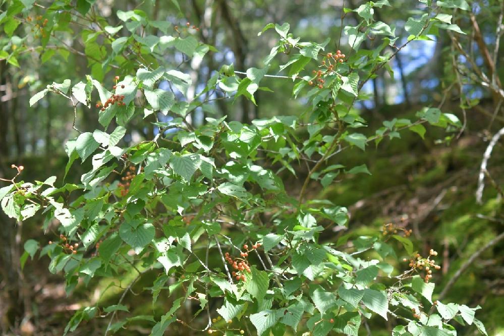この低木の名前は何でしょうか?赤い実がなっていました。