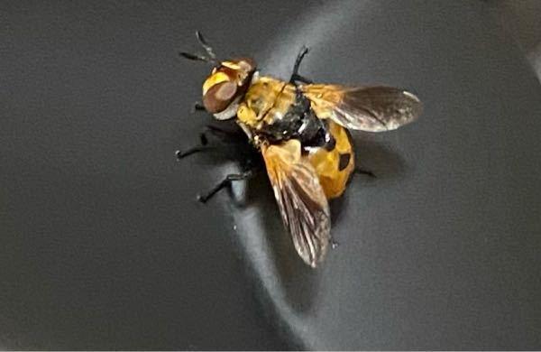 この虫は何という名前ですか?ハエっぽいんですけど家の中で飛び回ってます 初めて見ました