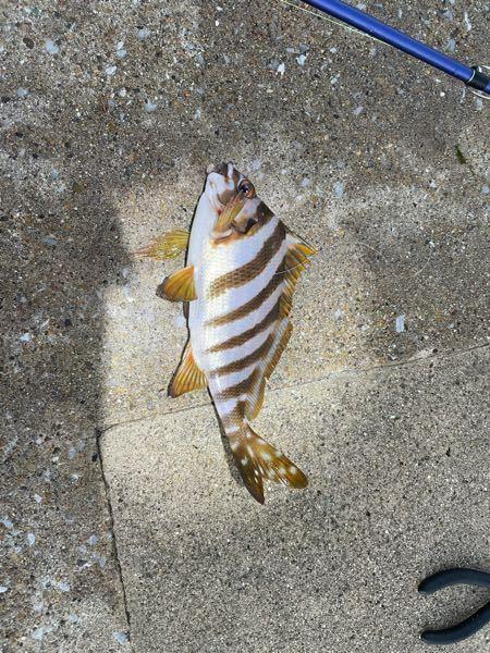 この魚はなんという魚でしょうか? また食べれますか?