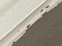 お風呂に、1mmくらいの虫がいました。 シロアリの幼虫か、チャタテムシか、ネットで調べてもわかりません。何の虫でしょうか?