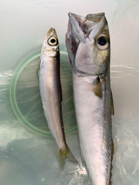 この魚の名前を教えてください!