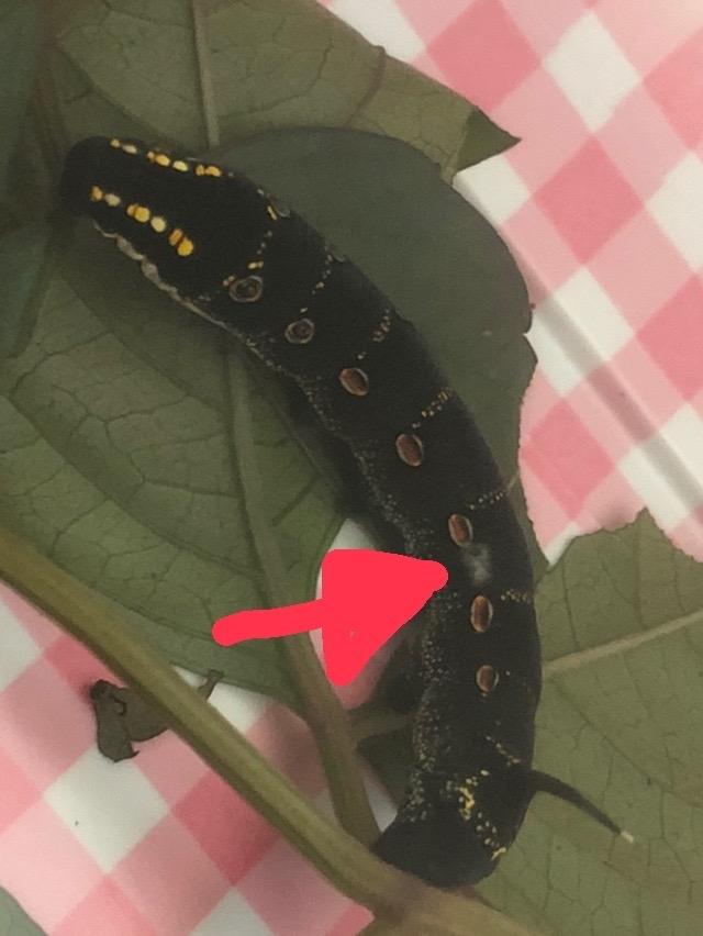 セスジスズメの幼虫を数匹飼育しています。 写真の幼虫は外で見つけた時から体に白い傷のようなものがあり、食欲もあまりなく痩せていて、2週間経っても体が全く大きくなりません。他の幼虫は脱皮したりさなぎになったりしているので環境が良くないわけではないと思います。 多分外で暮らしていた時からずっとこのサイズだったのかもしれません。 このように体に傷ができたイモムシは成長できなくなるのでしょうか?