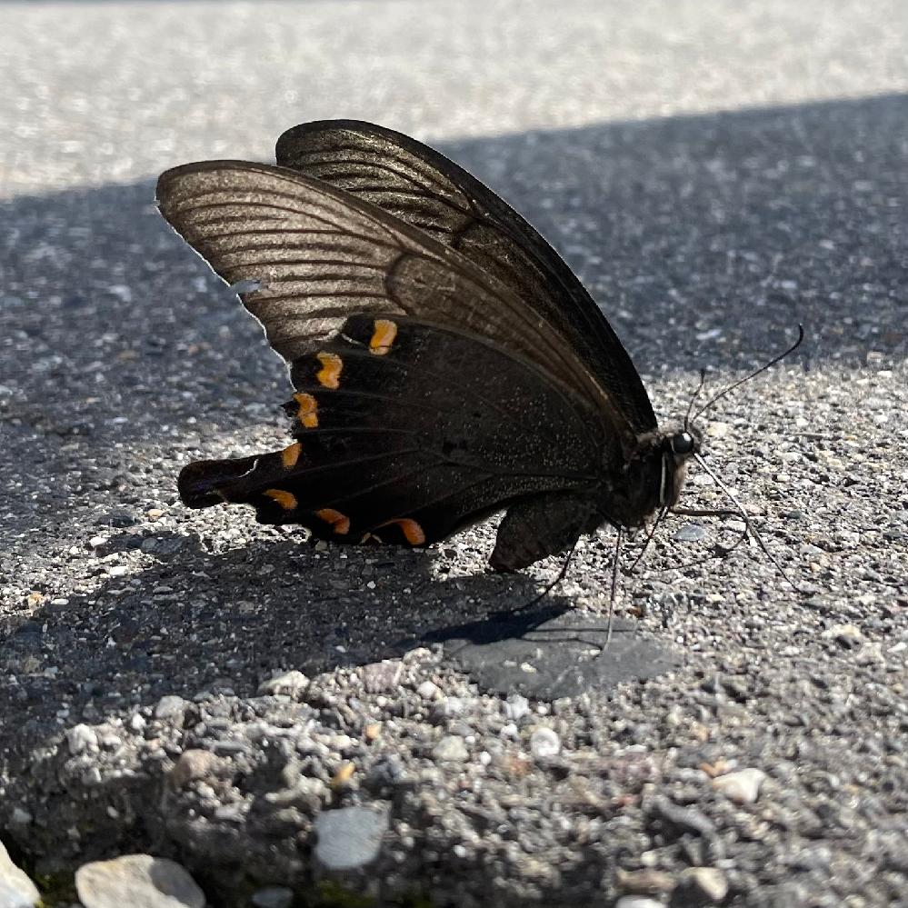 なんていう蝶々か分かる方教えてくださいm(_ _)m