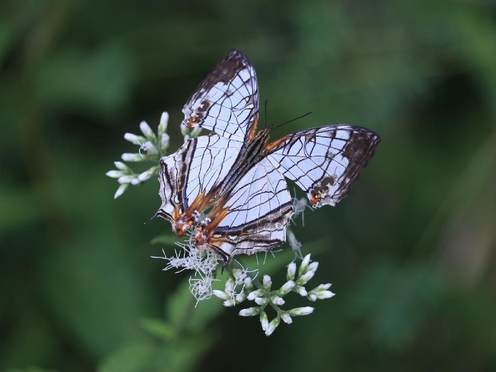 すみません 連投で失礼します この蝶々の名前もお願いします
