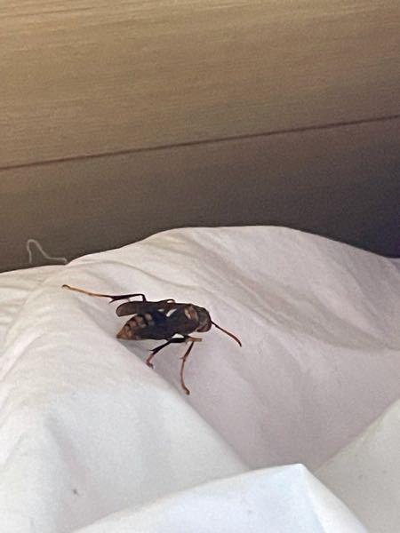 ベッドで横になってたら このような虫がいたんですが この虫はなんですか?