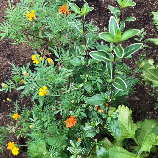シソとマリーゴールドの間にある 緑に白の線の入った葉っぱのある植物は 何でしょうか?? 植物に詳しい方教えてください。