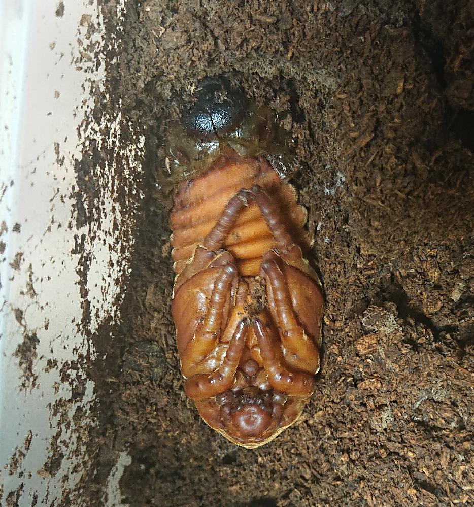 ヘラクレスの幼虫を育ててまして、基本冷温庫に入れっぱなしでそろそろマットを変えようと開けたら蛹になってたのですが、マットの上で蛹化してしまったんです。 タッパのような容器の蓋に穴をいくつか開けて不織布のシールを貼ってるので、割りと乾燥はしにくいのですが、人工の蛹室に移した方が良いでしょうか? 人工の蛹室に自信がないので大丈夫そうならこのまま様子をみたいのですが…。 蛹は開けたときの振動で動いてたので元気そうで、金色の毛がキラキラしててカワイイです(笑)