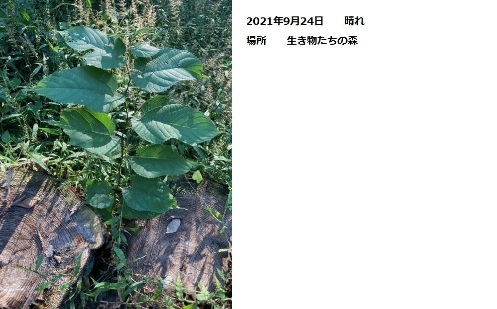 この植物の名前を教えてください。 場所 千葉県高原部 森の中 日時 2021年9月24日 高さ 50cm位 葉がとても大きいです。 樹木か草か分かりません。