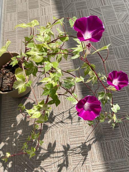 この花の名前を教えて頂けたら嬉しいです。朝顔と言う事で頂きましたが、今頃咲いてます。