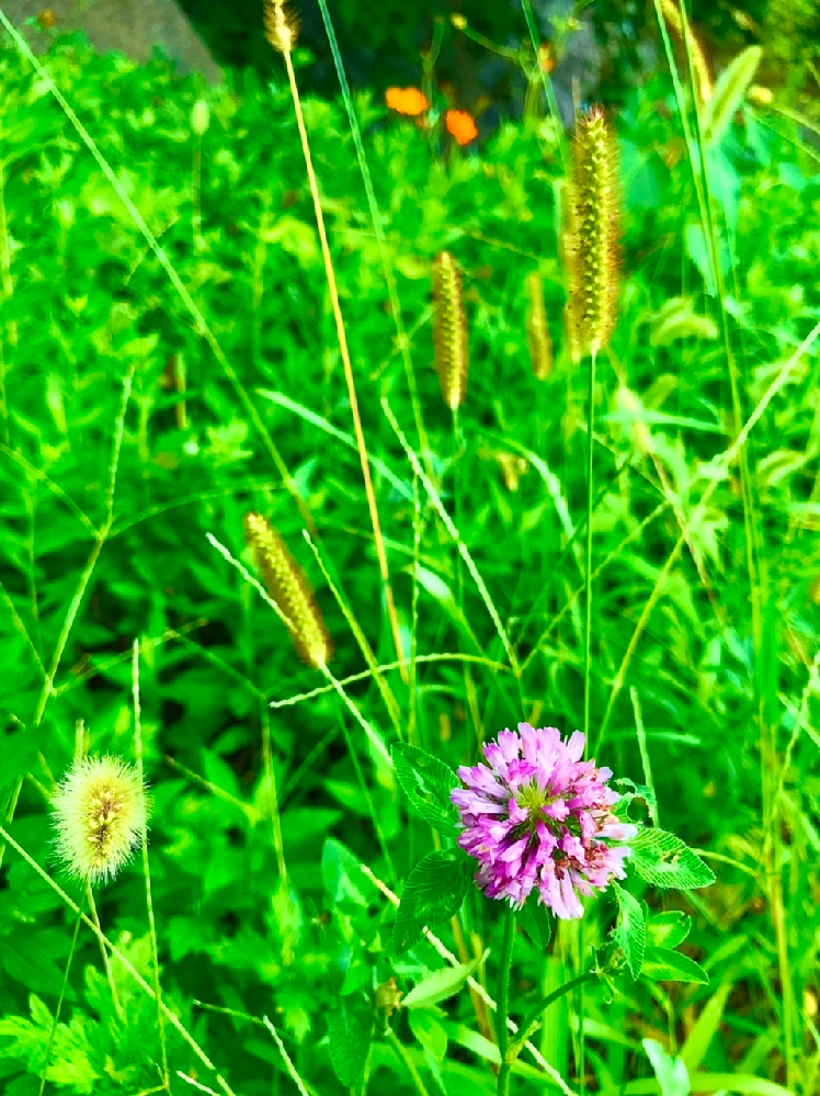 この花は何でしたっけ? 紫色の花です。 川の土手に咲いていました。 レンゲソウみたいな。 お願いします。