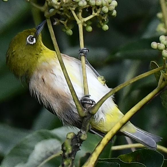 この鳥の名前を教えてください 最初はメジロかと思ったのですが 胸から腹部にかけてやけに白いのと嘴が黒く もしかしてチョウセンメジロかと思った次第です 両脇の色は淡い朱色なのでメジロ、チョウセンメジロの 特徴とも合致するので難しいです ただ腹部の中央に黄色い線も見える気がするので 亜種メジロの♂にも思えます すいません、どなたかお詳しい方よろしくお願いいたします