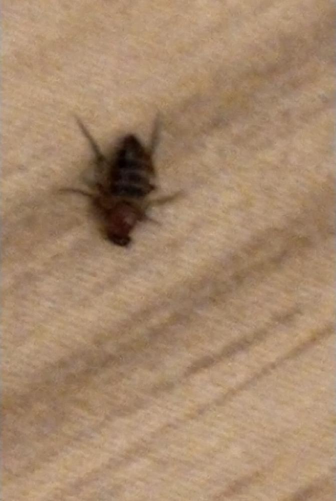 この虫はゴキブリですか? とても早くて 2~4mmぐらいのサイズでした