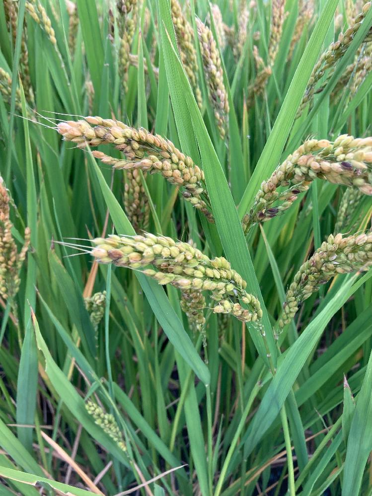 近所の田んぼのひと区画に、写真のようなお米?麦?黒米とか?もち米?が育てられています。 これは、なんでしょう? お米よりは粒がたくさんついていて、一粒が丸っこい印象です。 田んぼの持ち主さんがいたら、聞いてみたいと思うのですが、なかなかお会いできずにいます。