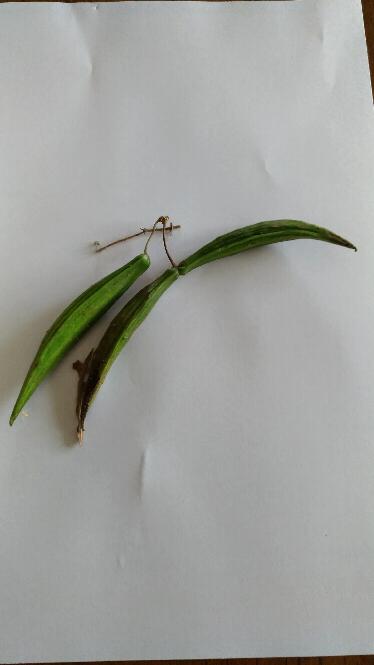 この植物の実のようなものは、何? やまで見つけました。つるの先についています。