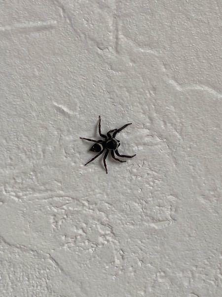 家に蜘蛛が出たんですけど、この蜘蛛はほっといてもいいですかね? 地味にでかいから多分逃がすと思うんですけど