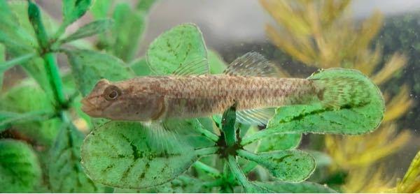 今年の夏に加古川の上流で捕まえた魚なんですが、何と言う名前でしょうか?