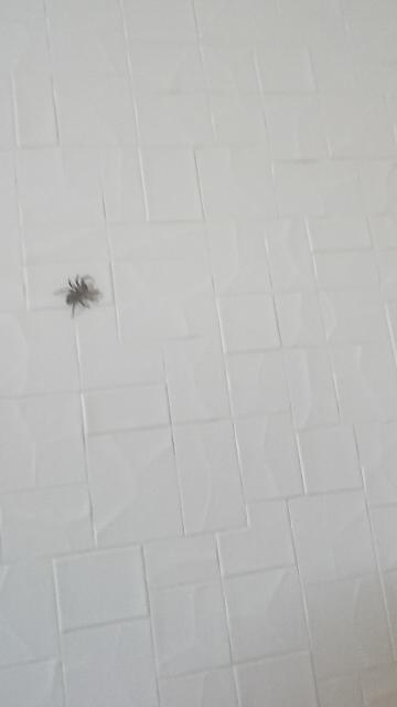 この蜘蛛、家の中で飼っているつもりなんですが、何という蜘蛛ですか?見えづらいですけどお願いします。