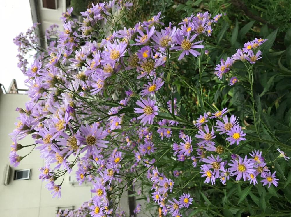 この花の名前を教えてください。 さっぱりわかりません。お願いします。