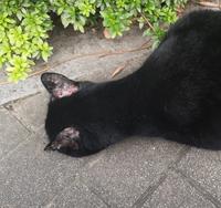 近所の地域猫ですが、耳と眉あたりの毛が剥げています。 これは、病気でしょうか?ケガでしょうか?