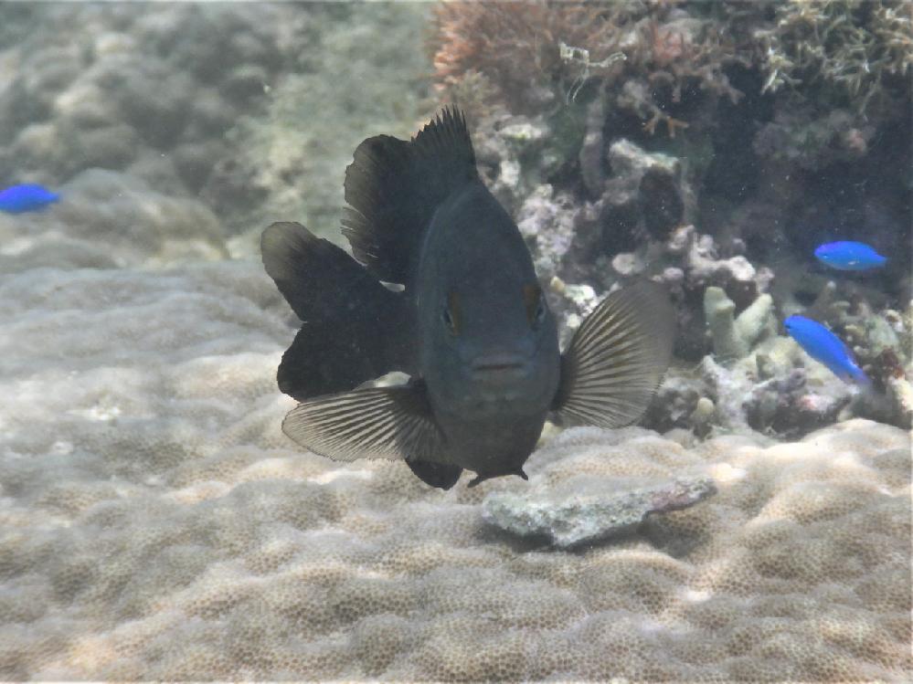 この魚の名前を教えてください。 場所は沖縄県糸満市、7月に撮影したものです。 クロスズメダイかなとは思うのですが、だとすればもう少し紺色がかっているような気がします。 この魚はクロスズメダイでしょうか。それとも別のスズメダイ科の魚でしょうか。 詳しい方、ご回答宜しくお願いいたします。