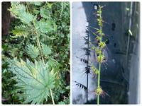 この植物の名前それぞれわかりますか?? どちらも触れてしまってすごく痛かったので 気になりましたよろしくお願いします。