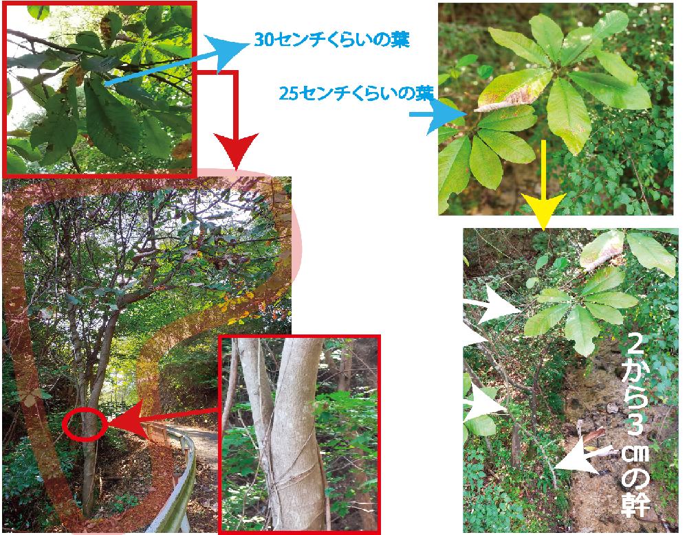 この木の名前分かりますか?大きな葉です 右側は別の場所で似たような葉を見つけましたが 幹が2.3センチくらいのサイズです 同じものですかね?