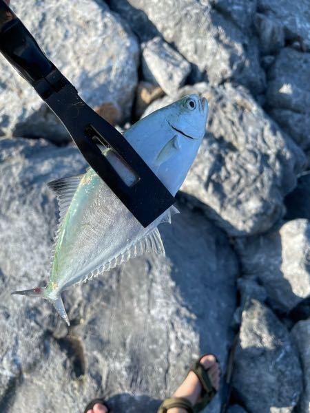 沖縄に行った時この魚がルアーで釣れました。 釣れた時期は9月下旬です 5gの赤金のジグでした。結構小さめです ヒレのところが体に比べて小さくて顔も小さめですこしバランスが悪いような気がします。 釣れた時根魚のような重いだけの引きでした。 体長20センチ有るか無いかで青物っぽいです。 釣れた場所は河口でした。 もともとメッキを狙っていたので早めのアクションで食い付きました。 口を使ってきました。 有力な情報になるように箇条書きのように書いたため少し文の繋がりが変ですが気にしないでください。 わかる方アンサーお願いします。