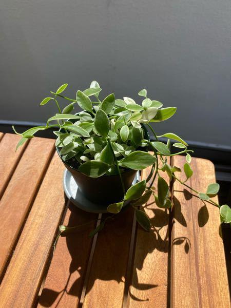 この植物の名前を教えてください!! 最近購入したのですが、名前を忘れてしまいました。 そんなに長い名前ではなかったと思います。